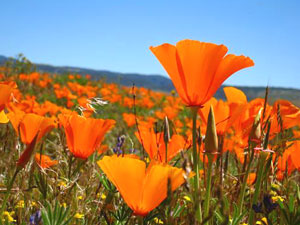 Antelope Valley California Poppy Preserve