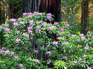 Redwood National Park - rhododendrons