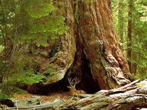 Sequoia National Park - giant redwoods