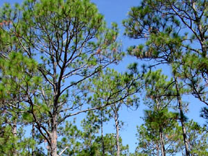 Apalachicola National Forest - pine trees