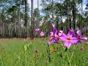 Florida forest meadow