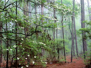 Ocala National Forest - dogwood