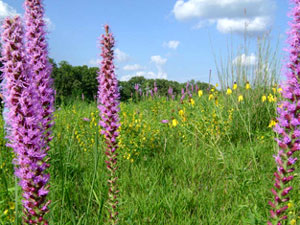 Iowa Tall Grass Prairie - wildflowers
