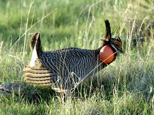 lesser prairie chicken - male
