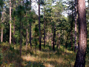 Kisatchie National Forest - pines