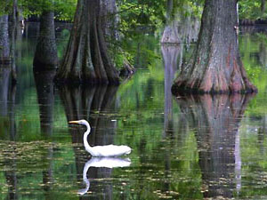 Sam Houston Jones State Park - egret