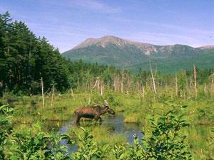 Baxter State Park - moose