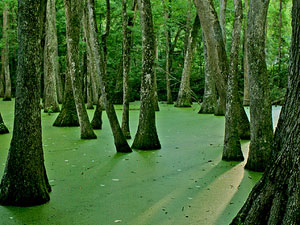 Natchez Trace Trail - cypress swamp