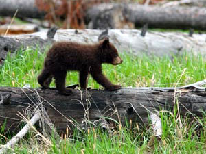 Flathead National Forest - bear cub