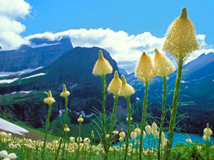 Glacier National Park - beargrass in bloom