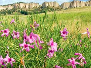Panhandle region wildflowers