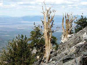 Great Basin National Park - bristlecone pine