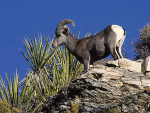 Humboldt-Toiyabe National Forest - bighorn sheep