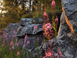 Adirondacks Mountains - flowers
