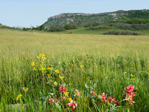 Killdeer Mountains - prairie wildflowers
