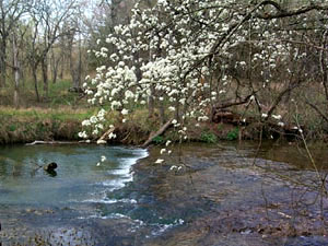 Blue River - dogwood