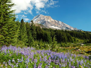 Mount Hood National Forest - lupines in bloom