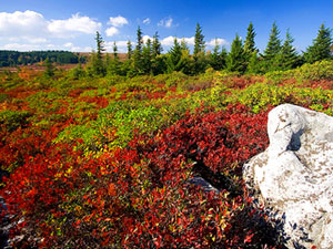 Dolly Sods Wilderness - huckleberry