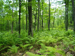 Wisconsin forest and ferns